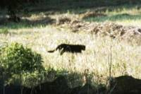 Sightings of big cats are growing – among them this one in Oxfordshire Picture: Clive Postlethwaite