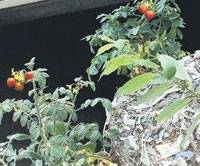 Tomato plants growing in treated sewage