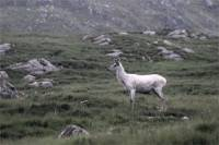 A young white deer stands proud as it gazes over the hills. Picture: Complimentary